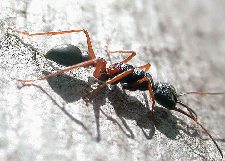 How to get rid of ants: Flying Ant Day sees in house ... |Baby Red Ants