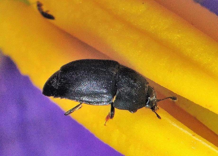 Family Nitidulidae