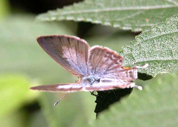 Speckled Line Blue Catopyrops Florinda