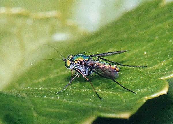 Dolichopodid Fly Family Dolichopodidae