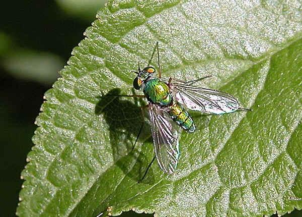 Green Long Legged Fly I Heteropsilopus Sp Or Sciapus Sp