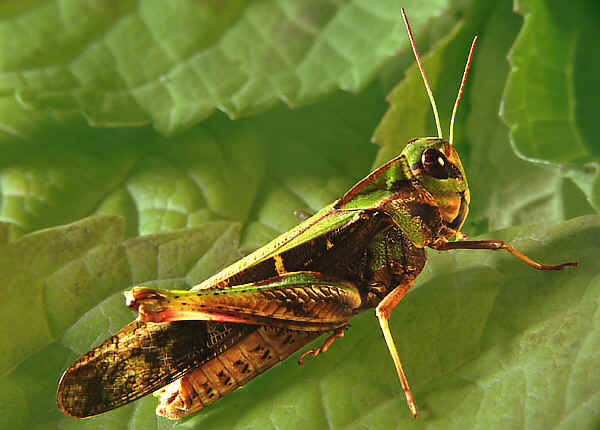 Yellow Winged Locust Gastrimargus Musicus