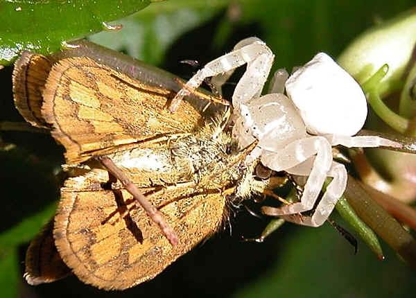 White Crab Spider Thomisus Spectabilis