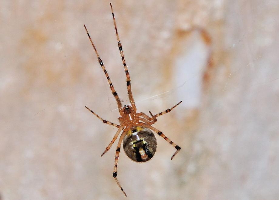 Diamond Comb Footed Spider Achaearanea Veruculata